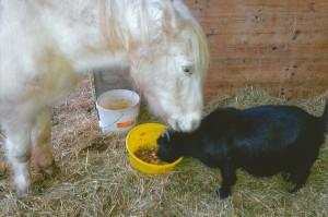 Pferd und Ziege