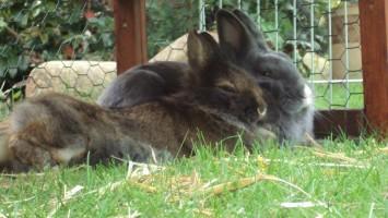 Kaninchenimpfung