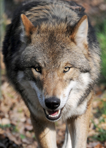 Pressebild-Change.org/Europäischer Wolf